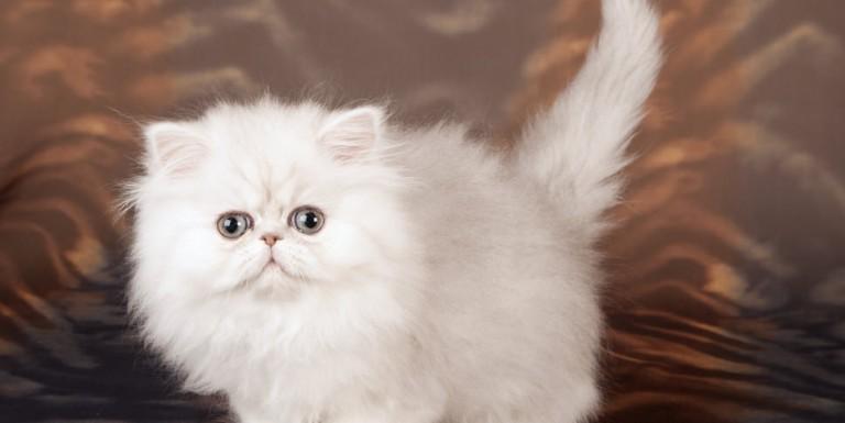 ペルシャ猫好きにはたまらないペルシャの魅力とは