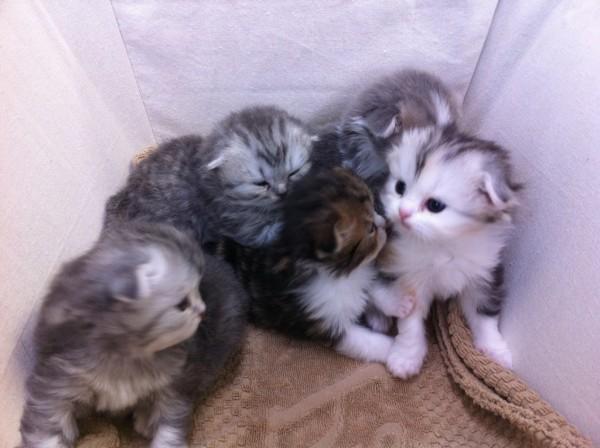 スコティッシュフォールドの子猫たちたくさん