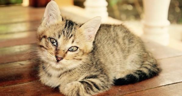 猫の種類☆赤ちゃんが特にかわいい7種の子猫