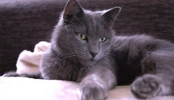 シャルトリューを紹介☆微笑み猫の魅力を知る5つの特徴