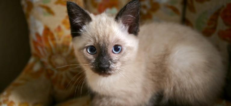 シャム猫好きさんにはたまらない★11画像