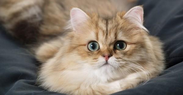 ペルシャ猫を飼っている人が自慢するペットの魅力