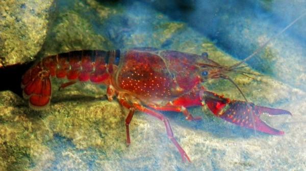 crayfish-971218_960_720