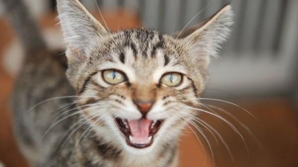猫の鳴き声で気持ちを理解する!感情を読み取る6つのコツ