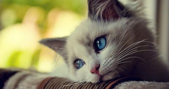猫の種類でレアなもの7選