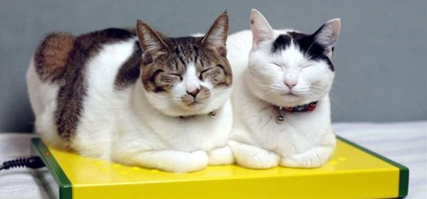 猫の種類の中で知らなかった猫7種ご紹介