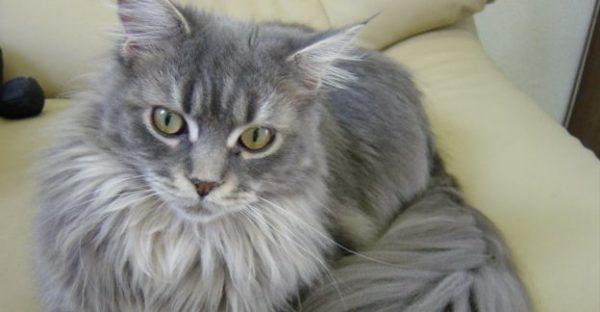 長毛種の猫の種類と飼うときの注意点