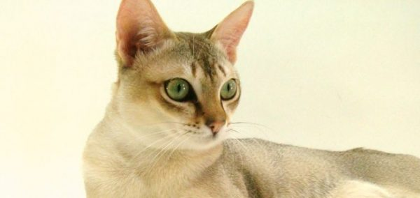 シンガプーラ好きさん集まれ~☆みんなが語る猫の魅力
