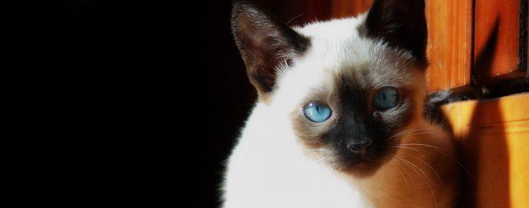 シャム猫の性格と飼い方についてまとめました☆