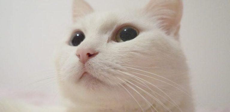 白猫が好きなら絶対はまる厳選画像
