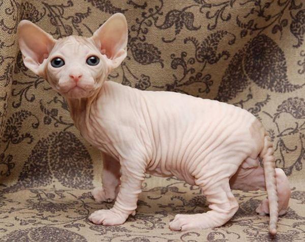 スフィンクス猫2