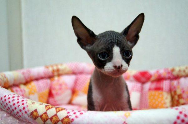スフィンクス猫3