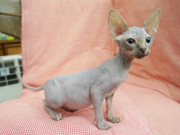 スフィンクス猫6