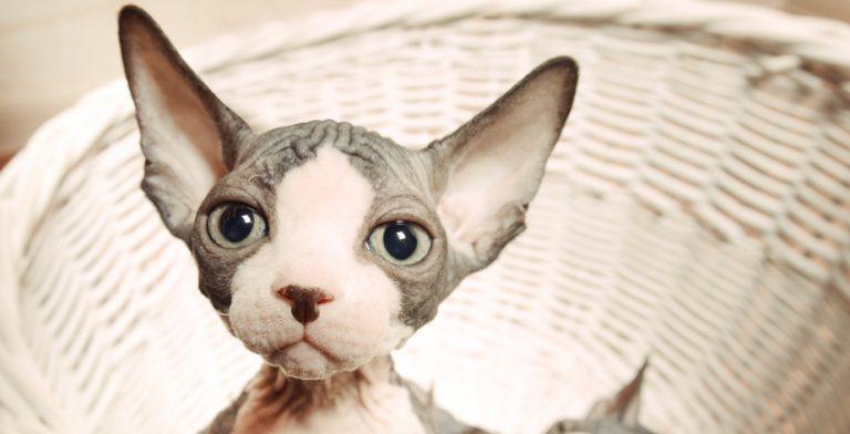 スフィンクス猫が人気の理由。他の猫との違いとは?