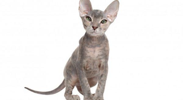 スフィンクス猫1