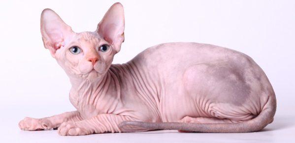 スフィンクス猫のかわいい7画像