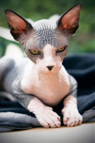 スフィンクス猫4