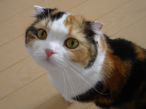 三毛猫の画像 p1_26