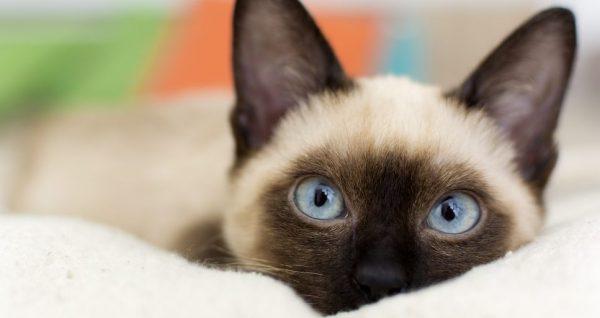 シャム猫の性格と相性の良い飼い主とは?
